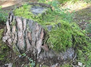 里山BONSAIイメージ1:松の切り株の再生
