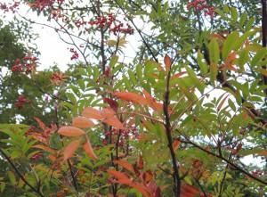 里山BONSAIイメージ3:ナナカマドの実と紅葉